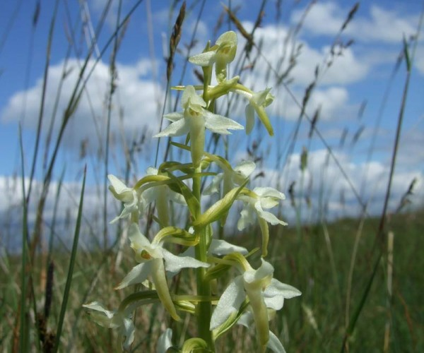 wild orchids of north sligo